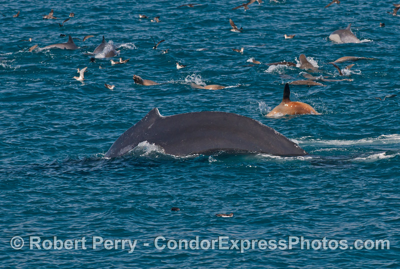 Humpback whale, California sea lions, and long beaked common dolphins convene on an oceanic hot spot