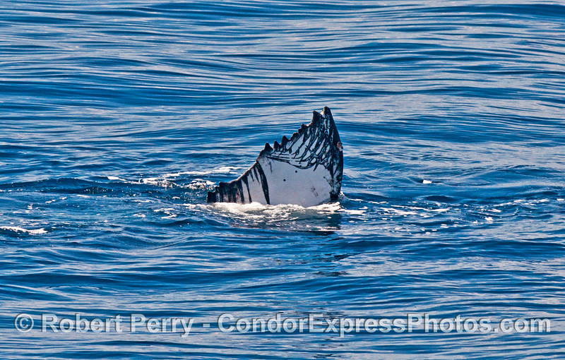 Tip of tail fluke showing black Orca scar pattern and scalloped posterior margin