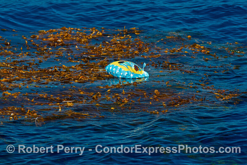 Balloon debris caught in giant kelp
