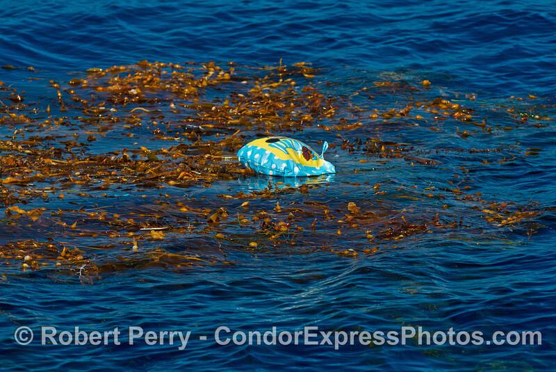 Balloon debris caught in giant kelp
