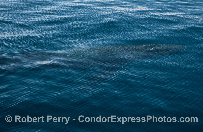 Image 5 of 5 - a humpback logs below the surface (in blue water)