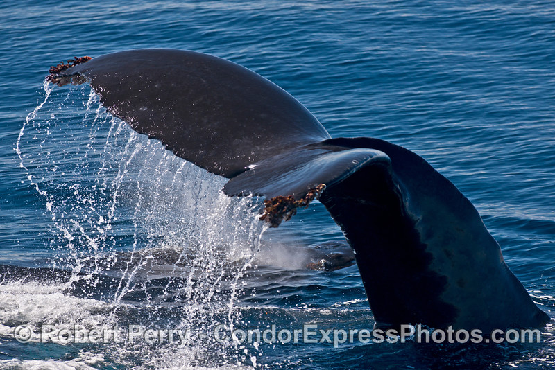 Adult female tail flukes waterfall hides her calf from our direct view