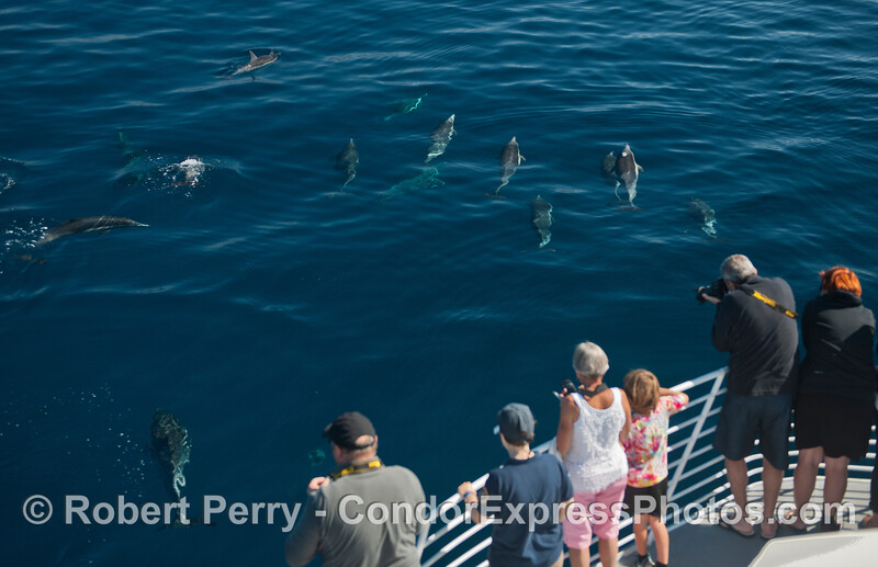 Common dolphins and their fan club
