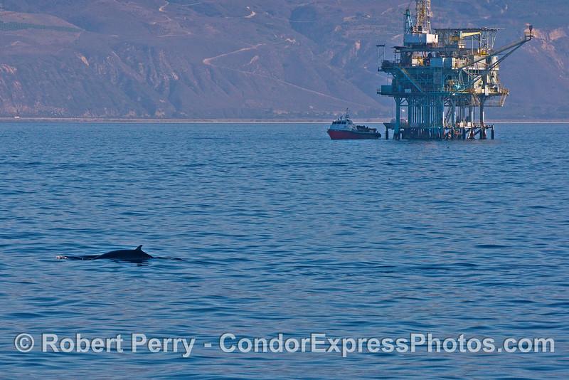 Minke whale, Platform Henry and vessel Alan T