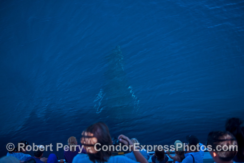Image 3 of 5 - a humpback logs below the surface (in blue water)