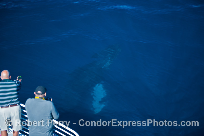 Image 2 of 5 - a humpback logs below the surface (in blue water)