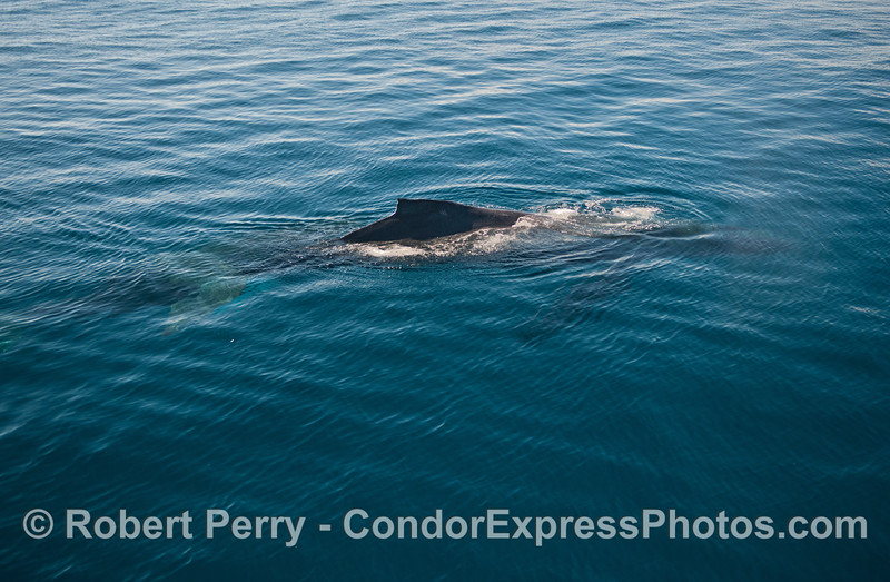 Humpback whale - whole body view