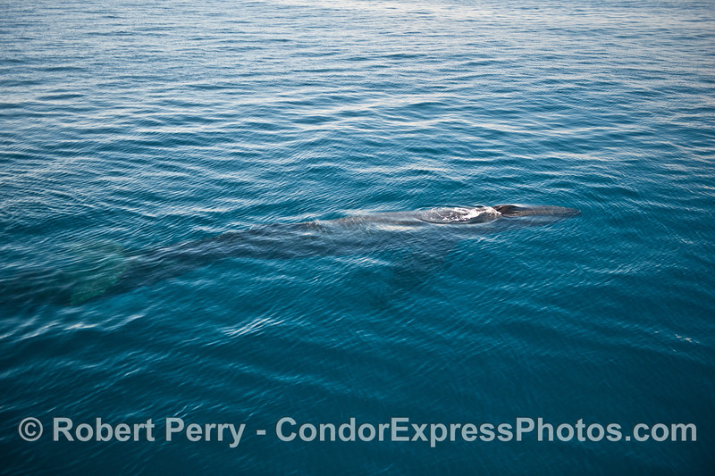 Another whole body view of a humpback whale in clear water