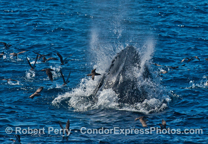 "A regularly viewed juvenile humpback whale, ""Top Notch,"" is seen lunge feeding on northern anchovies."