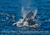 """A regularly viewed juvenile humpback whale, """"Top Notch,"""" is seen lunge feeding on northern anchovies."""