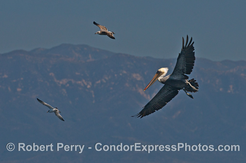 Three soaring bird species:  elegant tern, juvenile gull, and brown pelican.