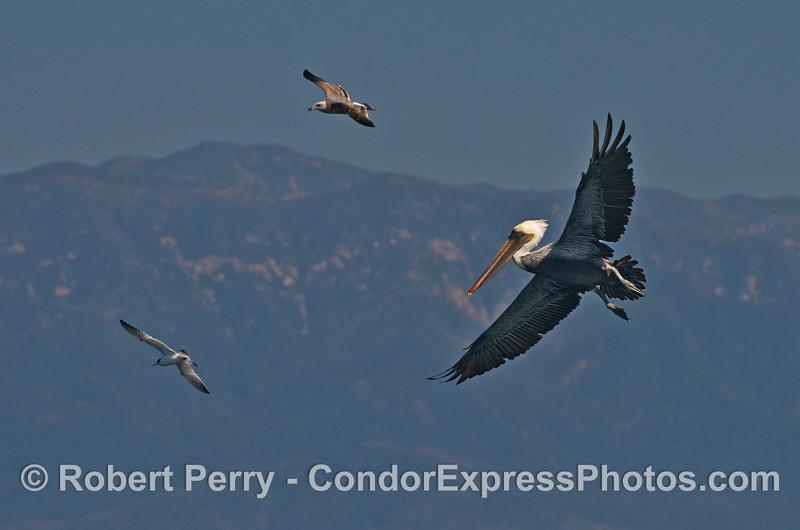 Three soaring bird species:  elegant tern, juvenile gull, and brown pelican.