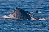 Common dolphins feed on the same northern anchovies as this lunge feeding humpback whale.