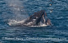 Note the expanded oral cavitity and water spilling out of the mouth of this lunge feeding (and spouting) humpback whale.