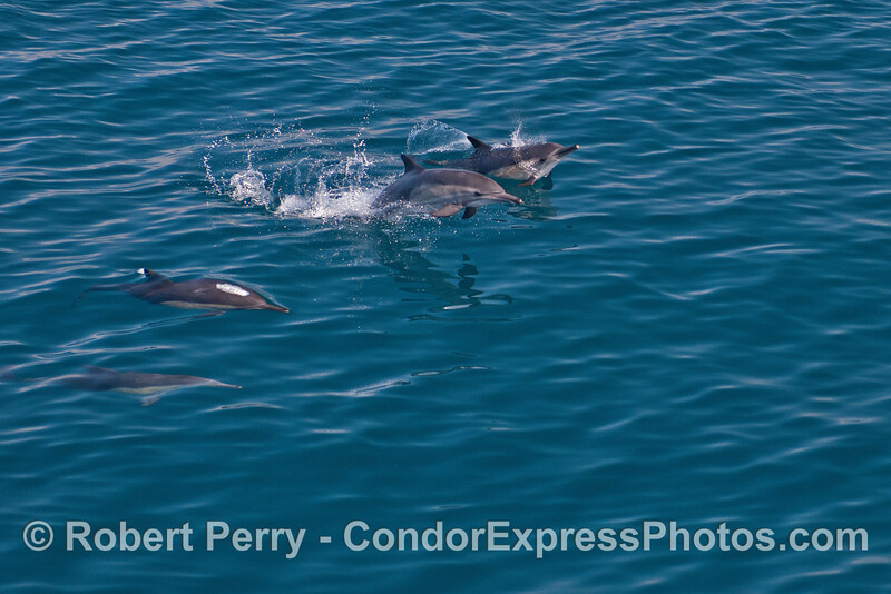 Long beaked common dolphins leaping