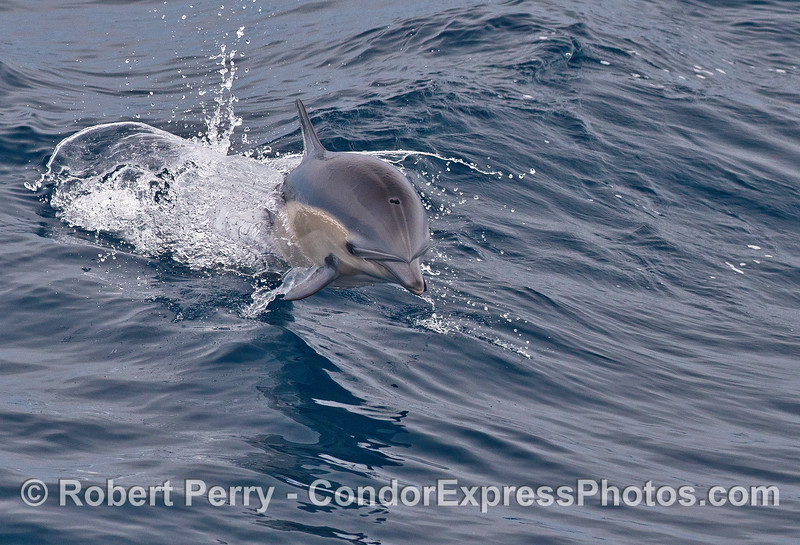 Short beaked common dolphin leaps directly at the camera