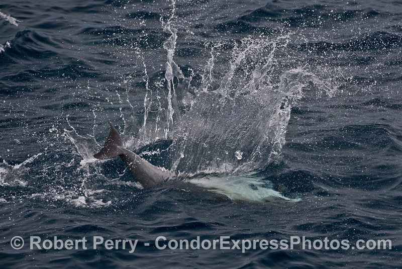 Short beaked common dolphin splashdown !