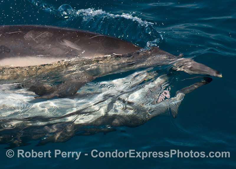 Long beaked common dolphin courtship and mating behavior - close view