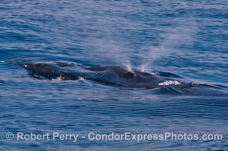 Snout and spout - a knobby headed humpback whale