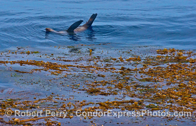 A California sea lion rafts alonside a giant kelp paddy