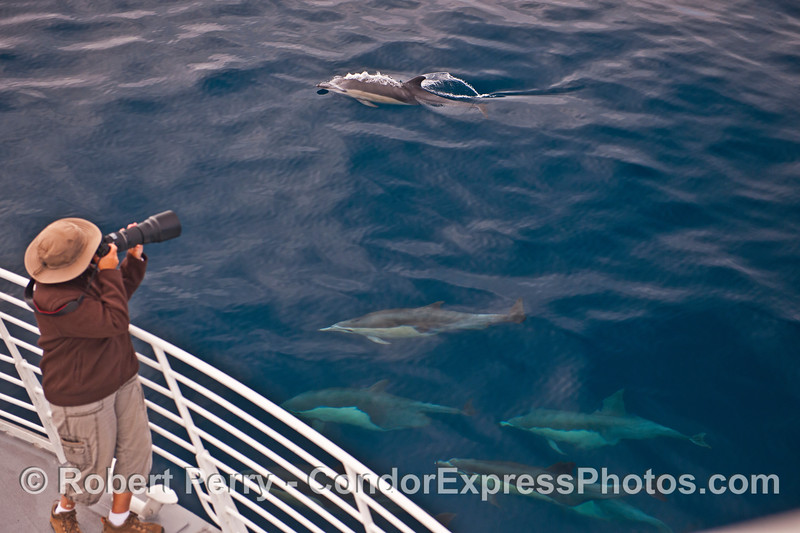 Short beaked common dolphin and a photographer at work