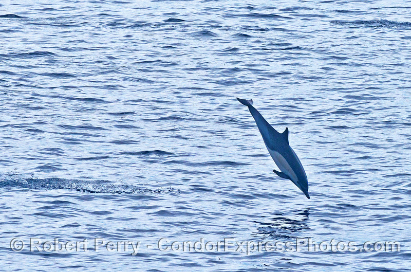Short beaked common dolphin aerial antics