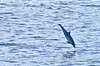 Short beaked common dolphin aerial antics
