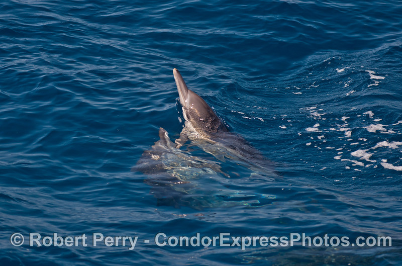 Long beaked common dolphin courtship and mating behavior