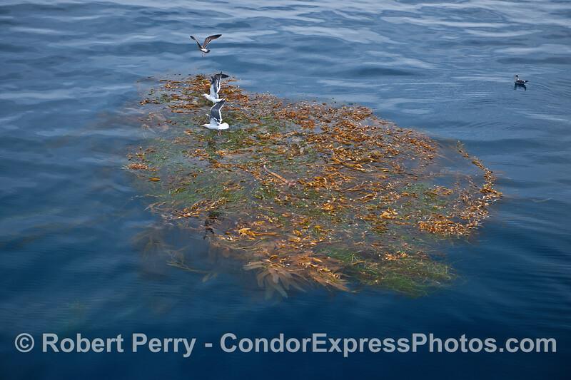 Western gulls on a giant kelp paddy