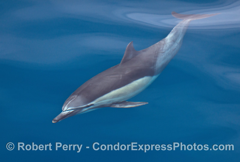 An underwater view of a friendly long beaked common dolphin