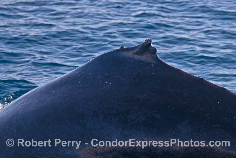"The dorsal fin notch that gives this whale its nickname ""Top Notch""   And, it very much IS a top notch whale."