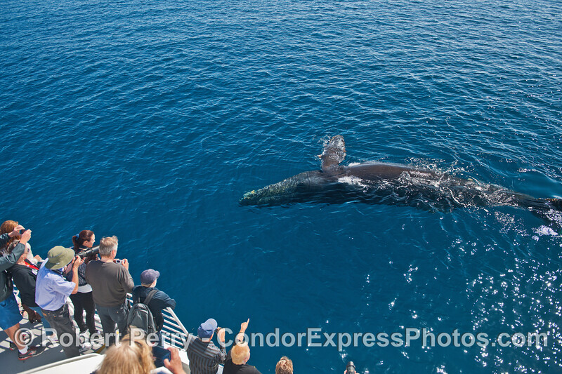 A very friendly humpback begins to roll over