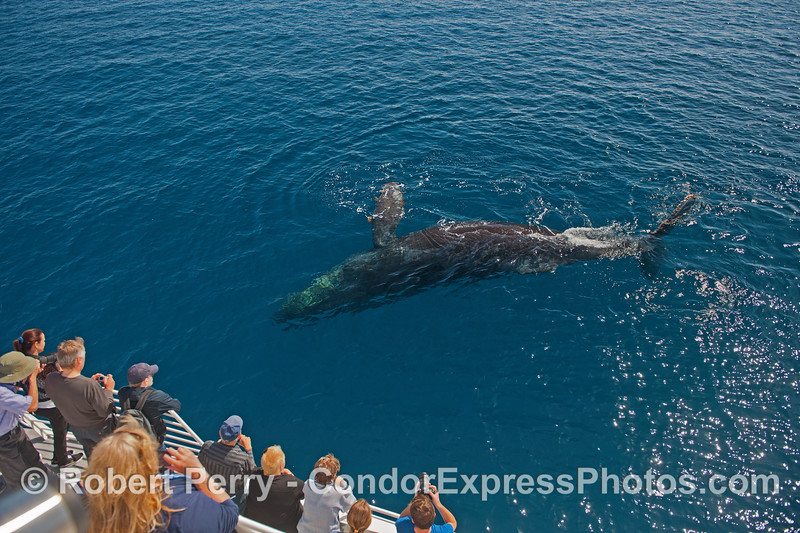Humpback whale on its side, rolling around for its fans