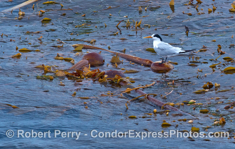 An elegant tern perches on an elk horn kelp paddy on the open ocean