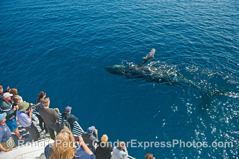 Rolling and waving - a friendly humpback whale