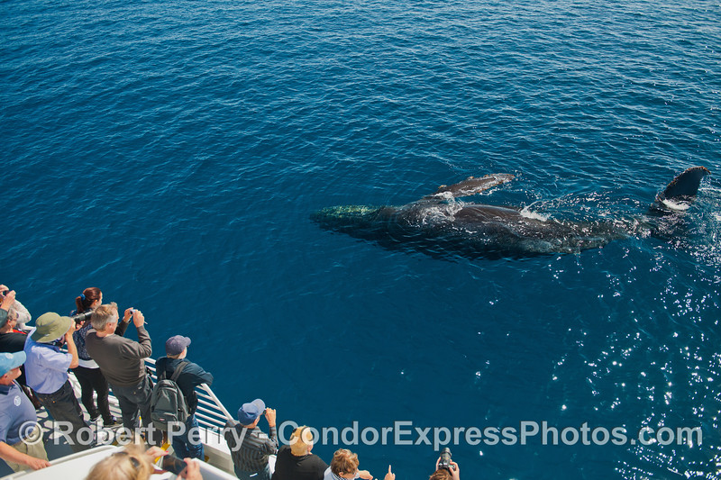 A humpback whale rolls over for its fan club