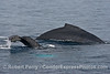 Mom and her calf with white pectoral fins