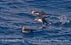 Three black vented shearwaters.