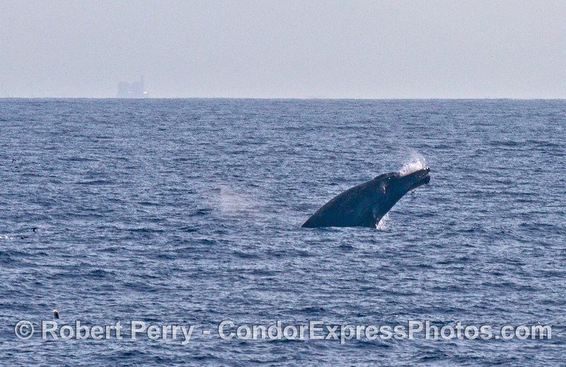 Image 2 of 3 in a row:   A humpback breaches in the distance.