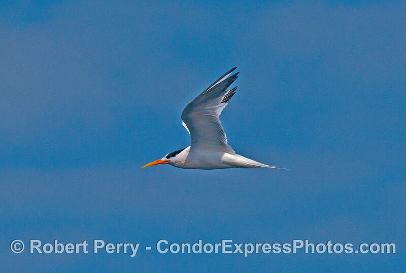 Elegant tern - sun and blue sky