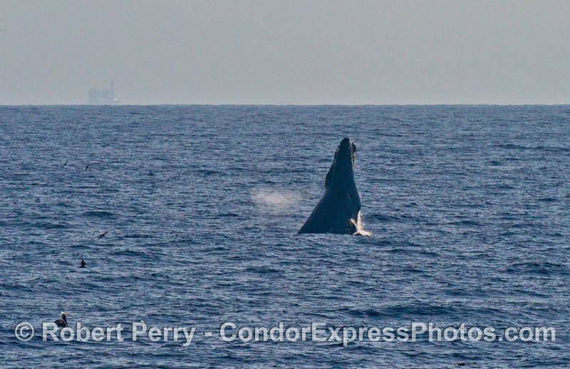 Image 1 of 3 in a row:   A humpback breaches in the distance.
