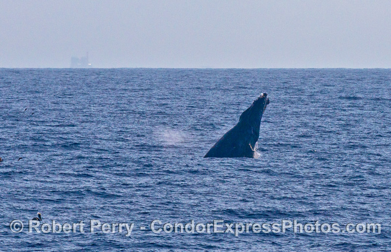 Image 3 of 3 in a row:   A humpback breaches in the distance.