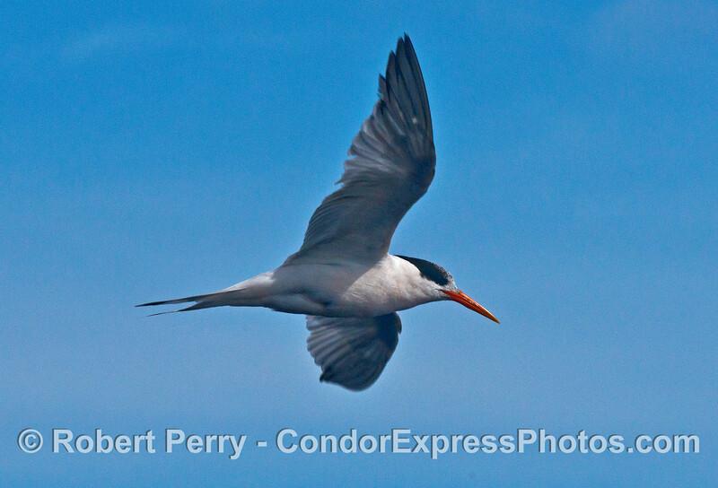 Elegant tern  - wingspan