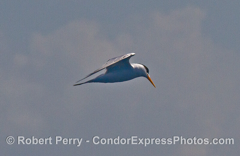 Elegant tern - eyes on the water below