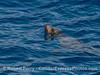 California sea lion - eye on the camera
