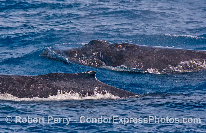 Humpback mother & calf.  Mom is Scarlet (foreground) and Shorty is the calf (back).