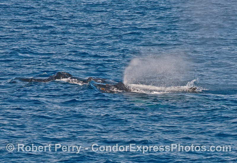 Humpback mother and calf - Mom in back, calf in front.