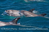 Another shot of the Risso's dolphin calf (middle)