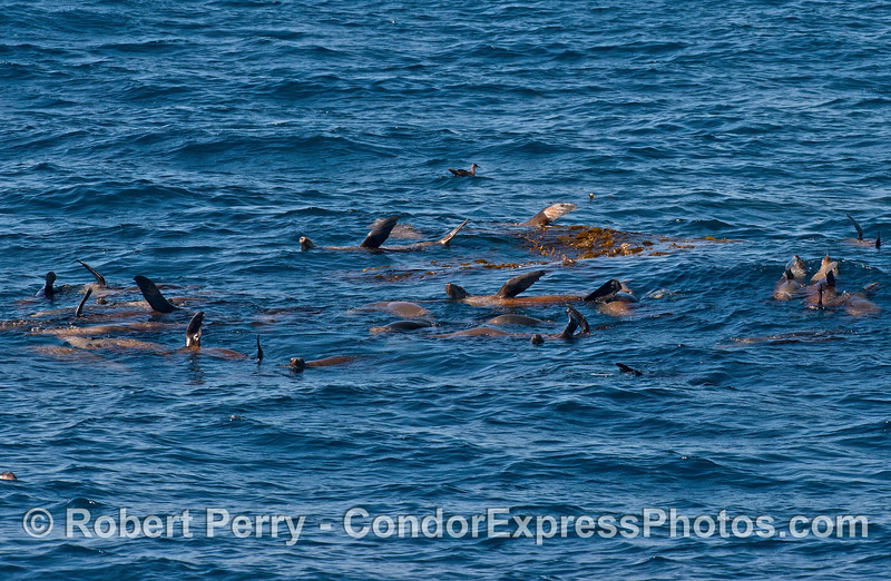 A mob of California sea lions near a giant kelp paddy