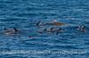 A mob of California sea lions near a giant kelp paddy